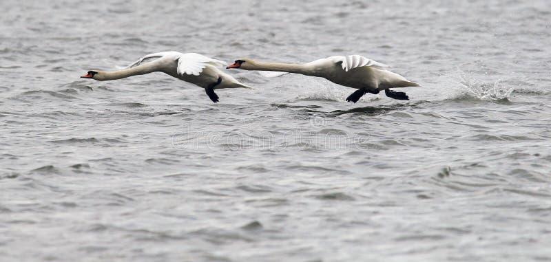 Пары летать безгласных лебедей стоковые изображения rf
