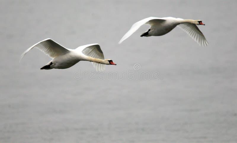 Пары летать лебедей стоковое изображение rf