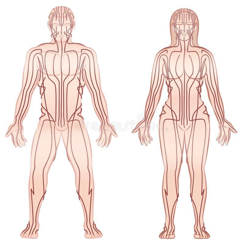 Пары женщины человека меридианов тела иллюстрация штока