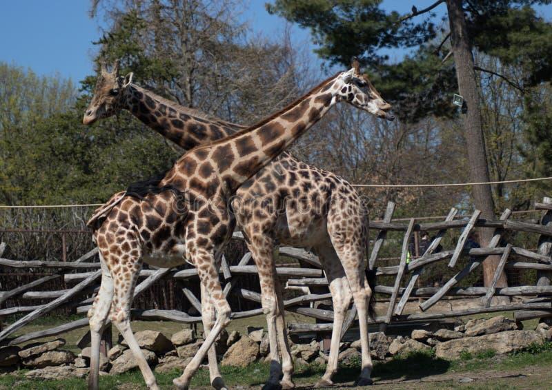 Пары жирафа в европейском зоопарке стоковое фото rf