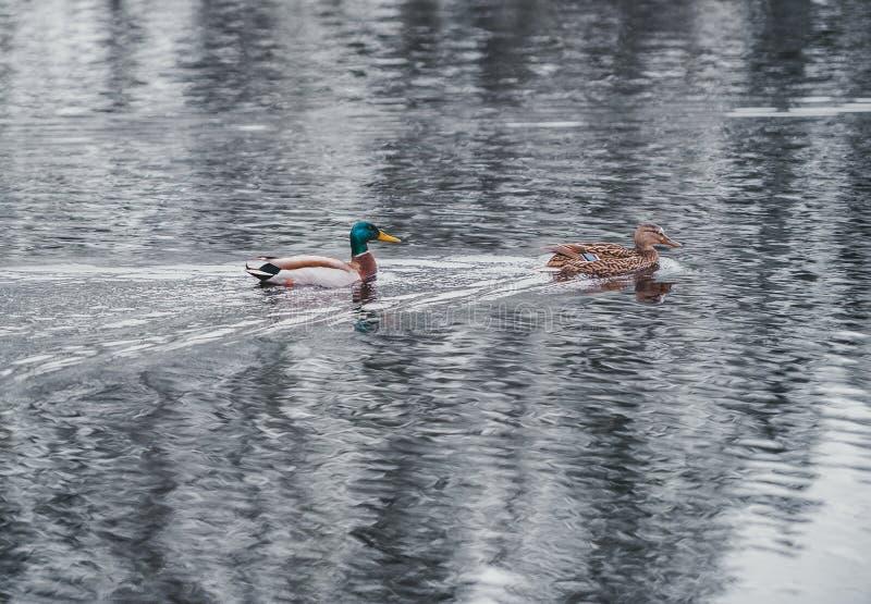 Пары заплыва утки в воде озера стоковая фотография rf