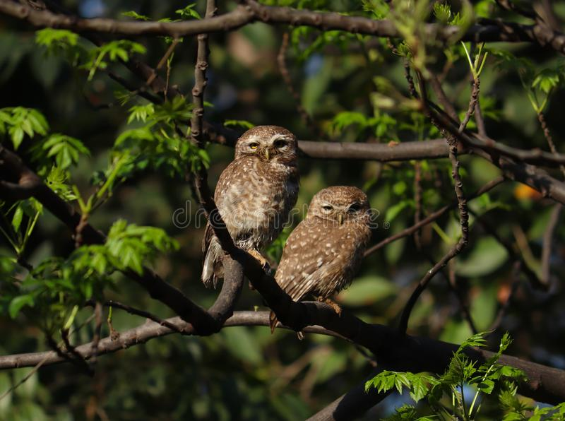 Пары запятнанных остатков owlet на ветви стоковые изображения rf