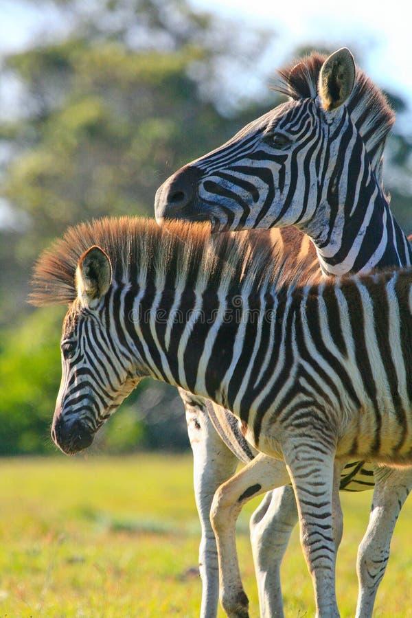 Пары зебры стоковое фото