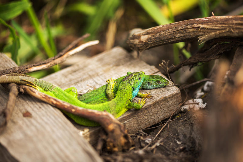 Пары зеленой ящерицы (bilineata ящерицы) в одичалом стоковая фотография