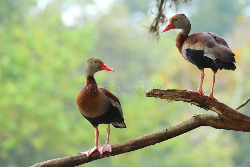 Пары дикой утки стоковое изображение