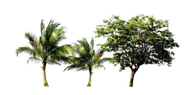 Пары кокосовой пальмы и восточного индийского дерева грецкого ореха и стоковое фото