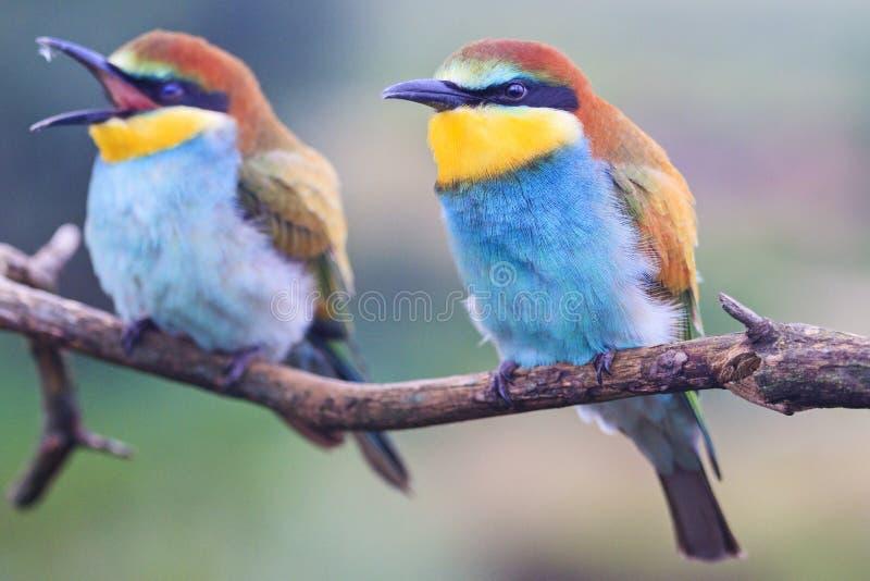 Пары красивых птиц цвета на радуге сидя на ветви стоковые фотографии rf