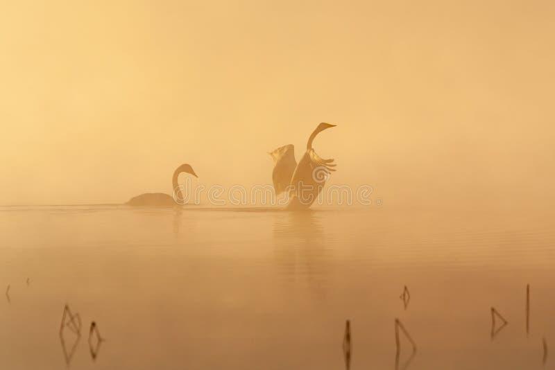 Пары лебедя Whooper в тумане раннего утра стоковая фотография