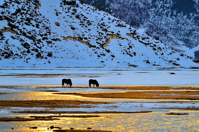 пары лошади старые стоковая фотография