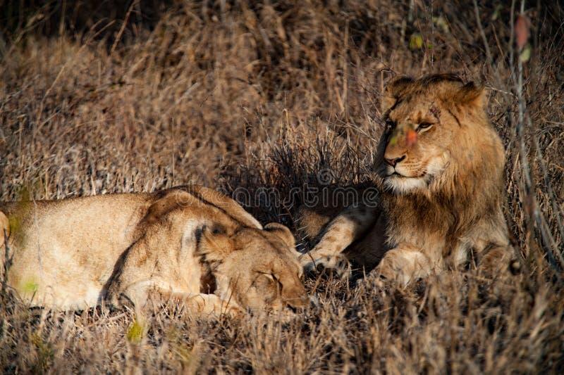 Пары льва Южной Африки ослабляя стоковое изображение rf