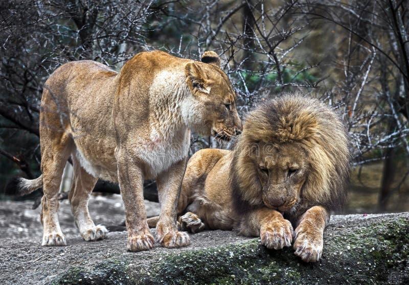 Пары львов стоковое фото
