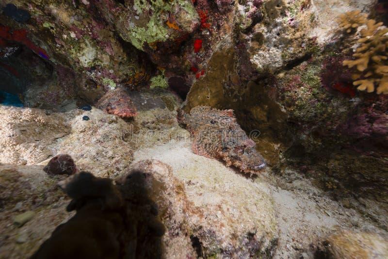 Пары мелкомасштабных scorpionfishes в Красном Море стоковые фото