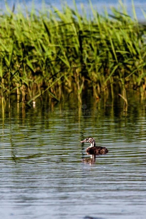 Пары молодых поганковых на прудах Harthill стоковые фотографии rf