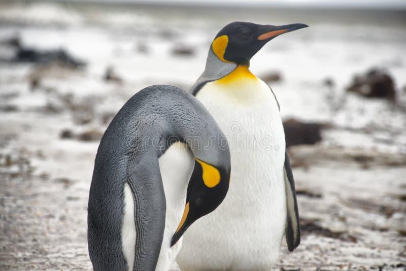 Пары на добровольный этап, Фолклендские острова пингвина короля стоковое изображение rf