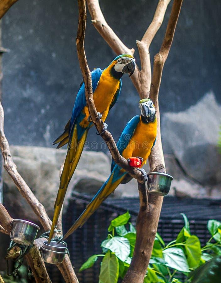 Пары попугаев стоковые изображения rf