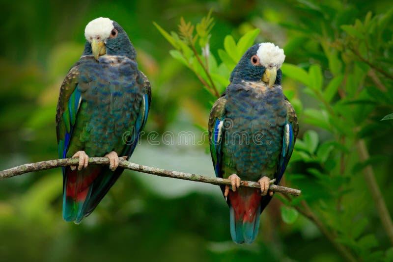 Пары попугая птиц, зеленых и серых, Бело-увенчанного Pionus, Бело-покрытого попугая, senilis Pionus, в Коста-Рика Влюбленность на стоковая фотография rf