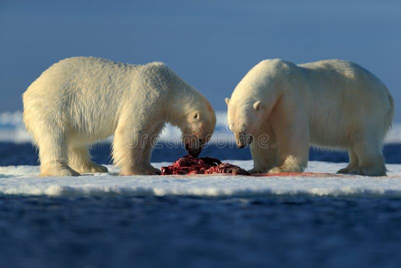 Пары полярных медведей срывая поохоченный кровопролитный скелет уплотнения в ледовитом Свальбарде стоковые изображения