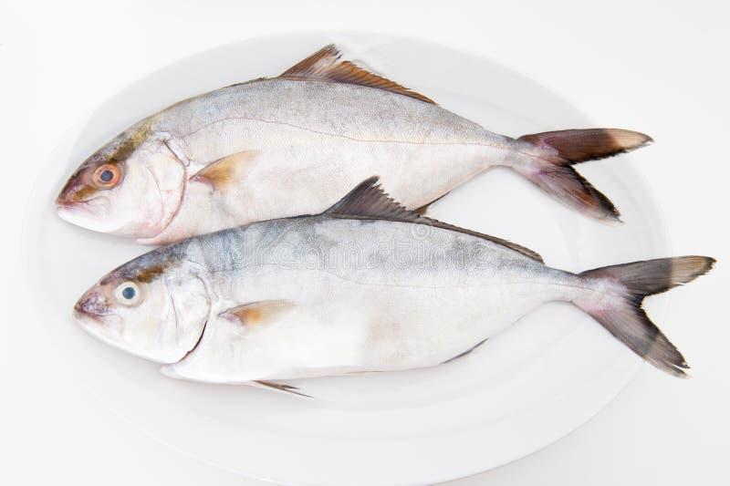 Пары рыб amberjack свежих на белизне стоковое изображение