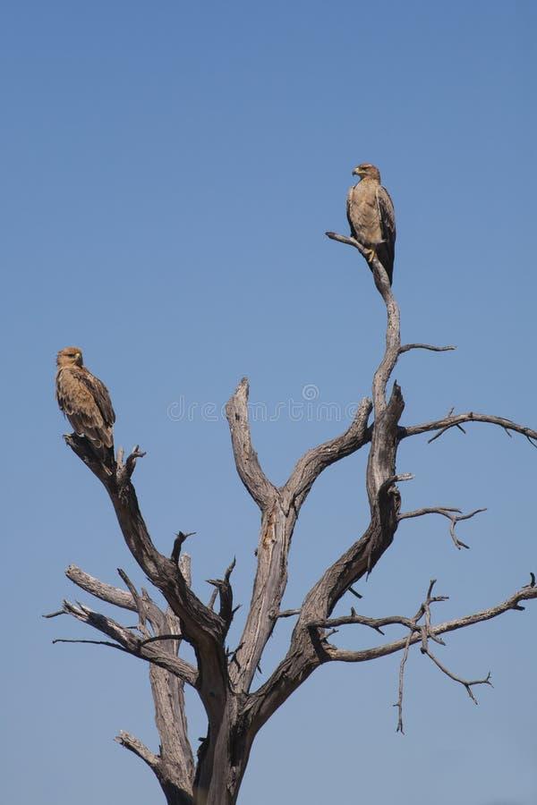 Пары смуглых Eagles на мертвом дереве стоковое фото rf