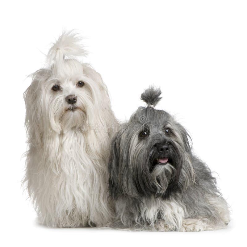 пары собаки havanese стоковое фото rf