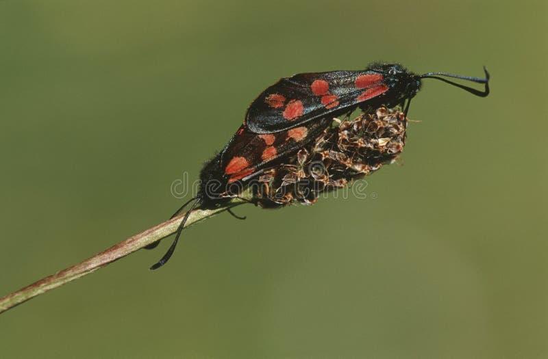 Пары сопрягая конца-вверх насекомых стоковые изображения