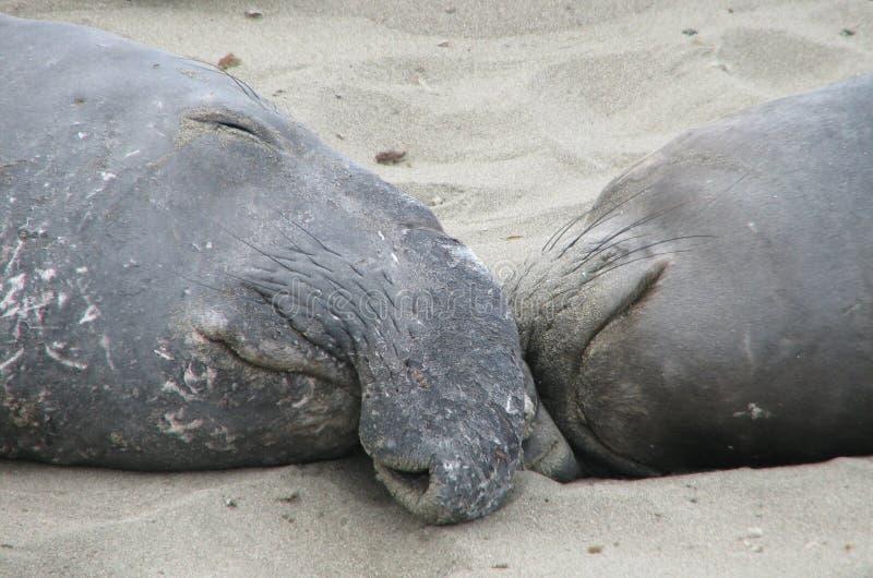 Пары уплотнений слона спать на пляже стоковое фото rf