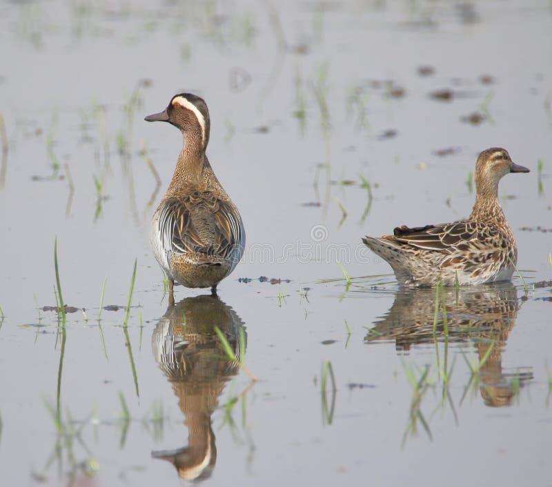 Пары утки garganey, птицы стоковые фотографии rf