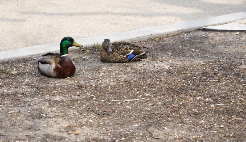 Пары уток сидят в парке на чуть-чуть земле рядом с тротуаром стоковая фотография rf