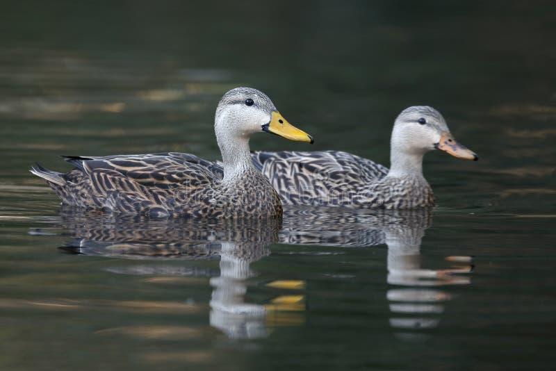 Пары уток Mottled плавая на реке - Флориде стоковые фотографии rf