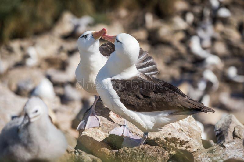 Пары ухаживать черно-browed альбатроса касаясь клювам стоковое изображение