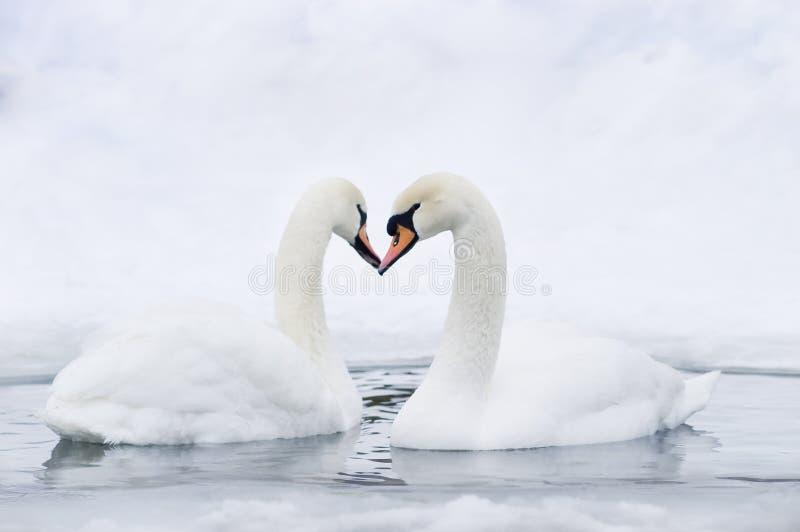 пары формируя лебедей сердца стоковое изображение rf