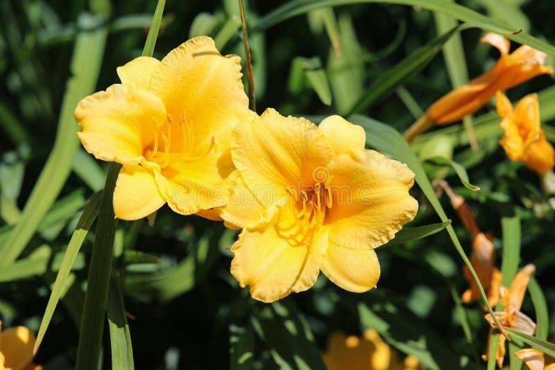 Пары цветенй daylily желтого цвета лютика стоковые фотографии rf