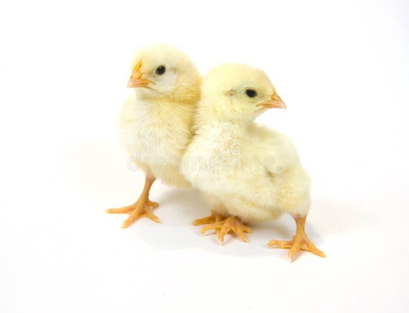 пары цыпленоков младенца стоковое изображение rf