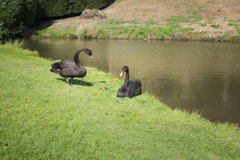 Пары черного лебедя стоковое фото rf