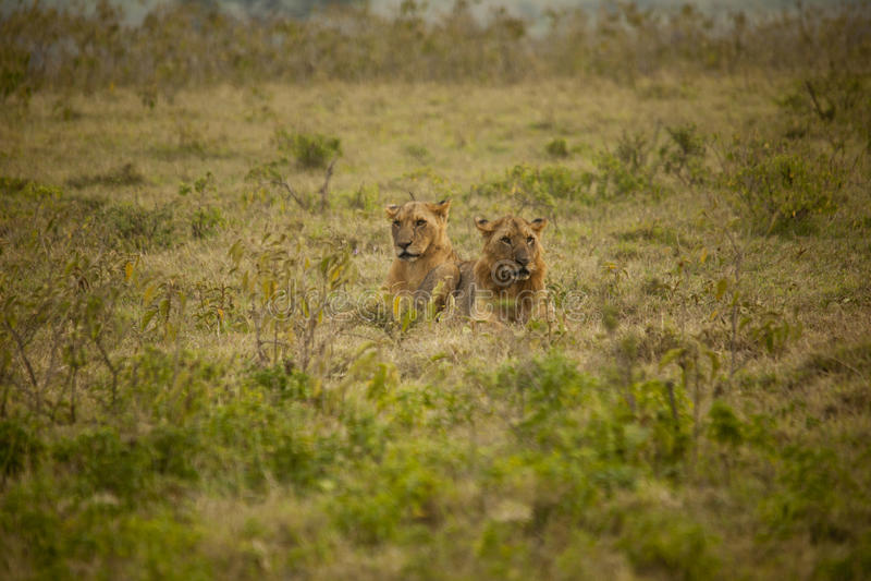 Пары льва в Африке стоковые фото