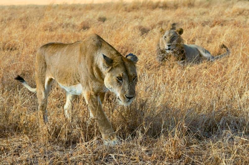 Пары льва и львицы в саванне, Африке, Masai Mara в Кении стоковое изображение