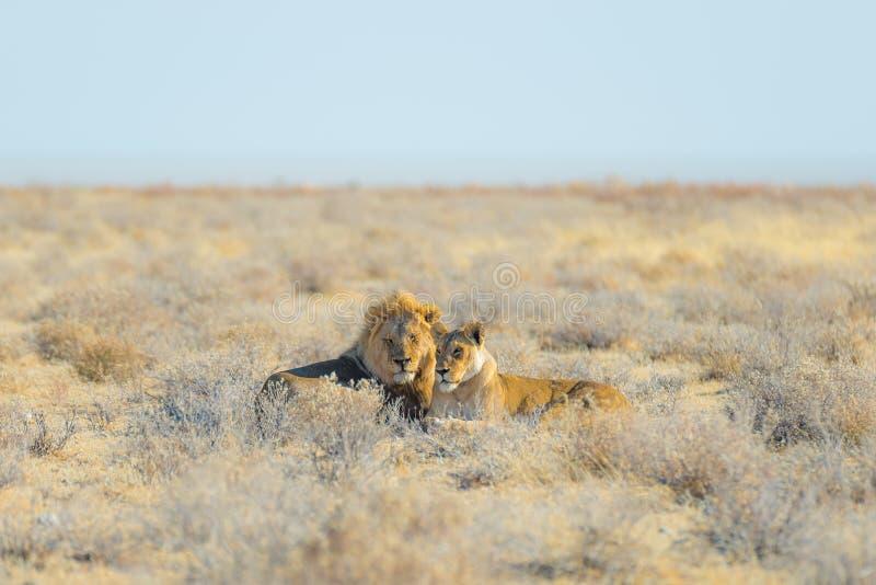 Пары львов лежа вниз на том основании в кусте Сафари в национальном парке Etosha, главная туристическая достопримечательность жив стоковая фотография rf