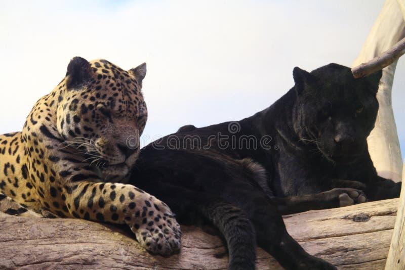 Пары ягуара стоковое фото rf