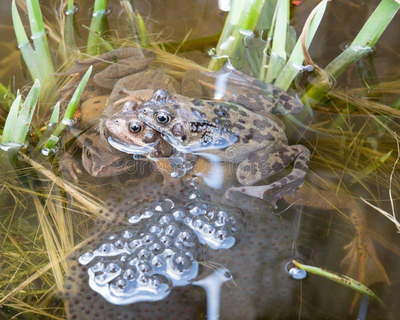 2 пары лягушек стоковое фото rf