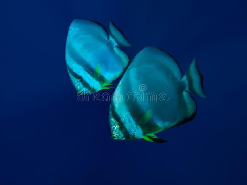 Пары batfish стоковая фотография