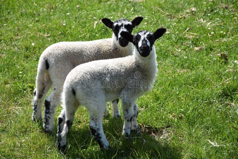 Пары Beulah запятнали овечек стороны в поле травы стоковые фотографии rf