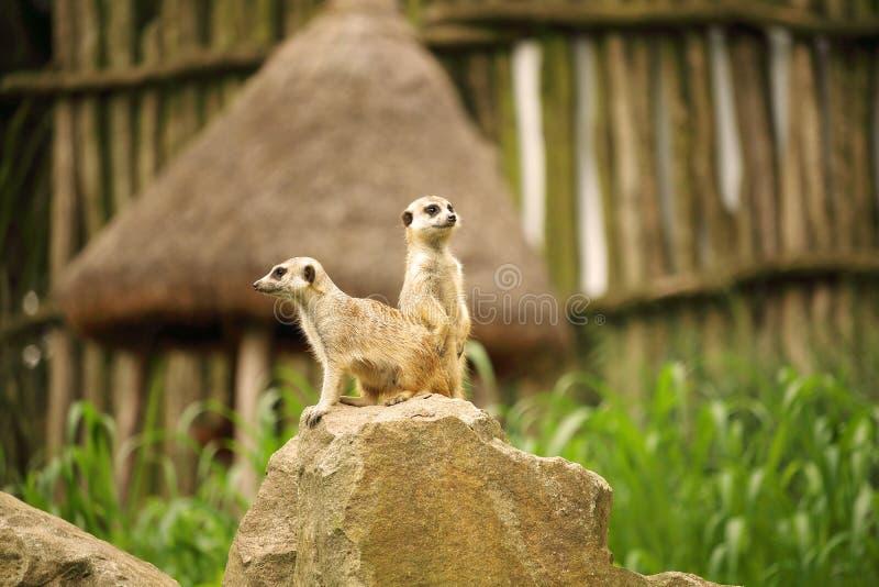 Пары meerkat, также известные как suricate, suricatta Suricata стоковые фотографии rf