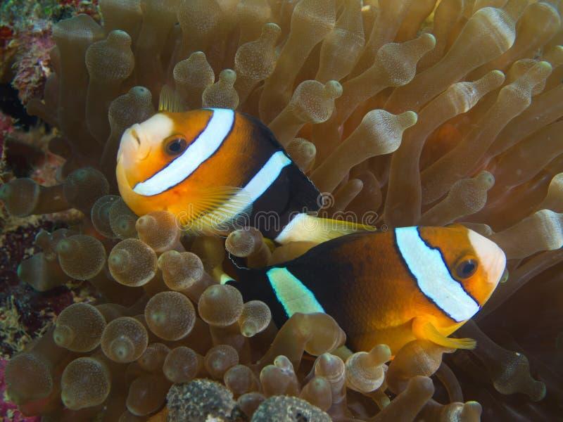 Пары Nemo смотря на напротив направления стоковое изображение rf