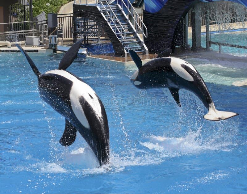 пары oceanarium убийцы выполняют кита выставки стоковая фотография