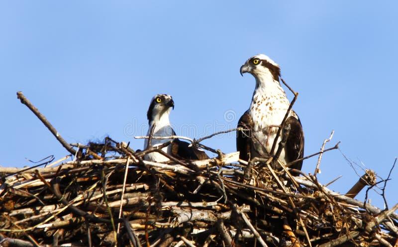 пары osprey гнездя стоковые фото