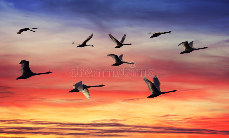 Пасмо силуэтов лебедей на заходе солнца стоковое фото