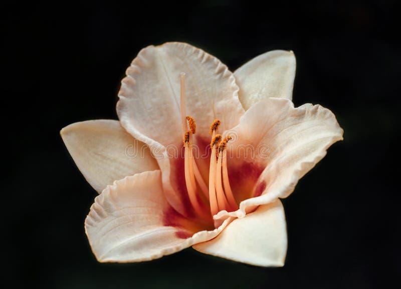 Пастельная розовая лилия с серединой красно-апельсина Лилия на черном конце-вверх предпосылки Оранжевые тычинки стоковое изображение