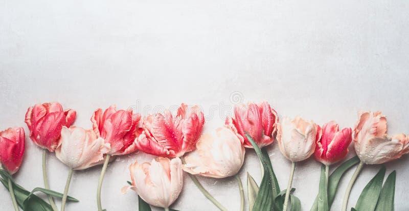 Пастельные тюльпаны цветут с падениями воды, взгляд сверху, границей Поздравительная открытка плана или весеннего времени стоковые изображения