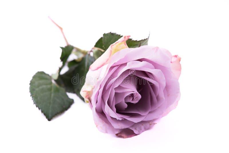 Пастельная роза фиолетового, mauve цвета свежая изолированная на белом backgrou стоковое изображение
