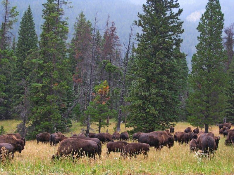Пасти бизона в Йеллоустоне стоковое фото rf